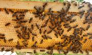 Bees can fight parasites in their hive with different methods