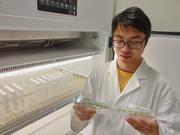 Zhongtao Jia inspecting the root foraging response of his Arabidopsis plants.