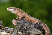 The Viviparous Lizard, Zootoca vivipara, is widespread in central Europe, but undergoes declines in its southernmost range, probably due to increased temperatures and aridity.