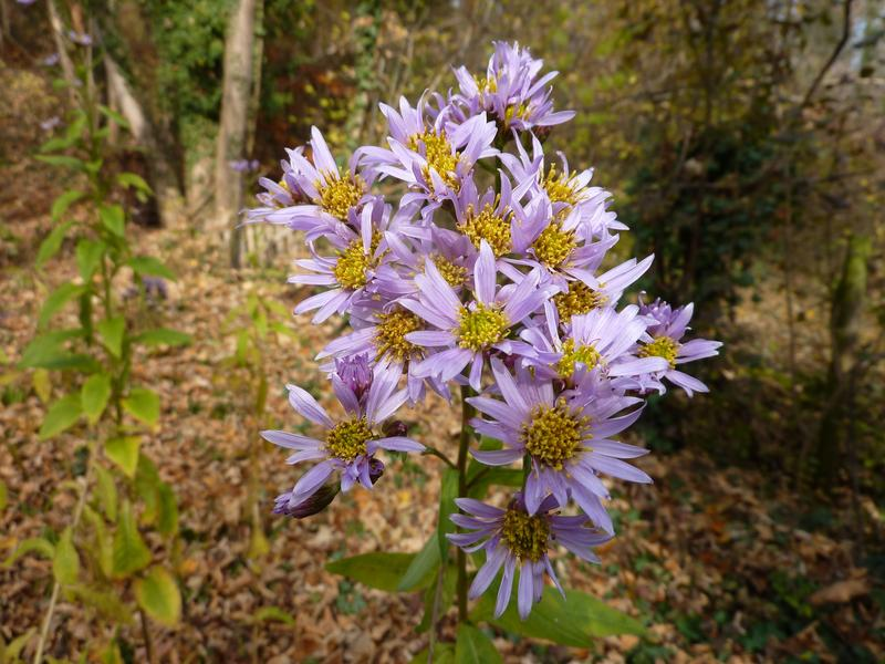 Tatarinow's aster (Aster tataricus) contains the drug astin only if it contains the fungus which makes it, C. asteris.