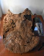 Venezuelan Palaeontologist Rodolfo Sánchez and a male carapace of Stupendemys geographicus, from Venezuela, found in 8 million years old deposits.