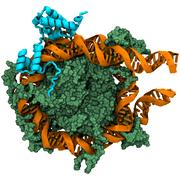 Schematic image showing the pioneer transcription factor Oct4 (blue) binding to the nucleosome (a complex of proteins (green) and the DNA (orange) wrapped around these proteins).