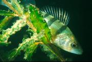 The European perch is sensitive to light pollution.