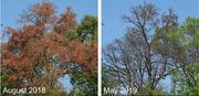 Premature leaf senescence of a beech tree during the 2018 event, followed by lacking leaf flushing and canopy dieback in the following year.