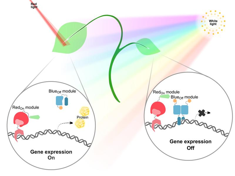 PULSE is an optogenetic tool enabling gene expression control in plants growing under normal day/night cycles. PULSE consists of two optogenetic switches with different light sensitivities