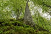 Old beech: Primary forests are crucial for biodiversity conservation and store high quantities of carbon in biomass, therefore helping to mitigate climate change.