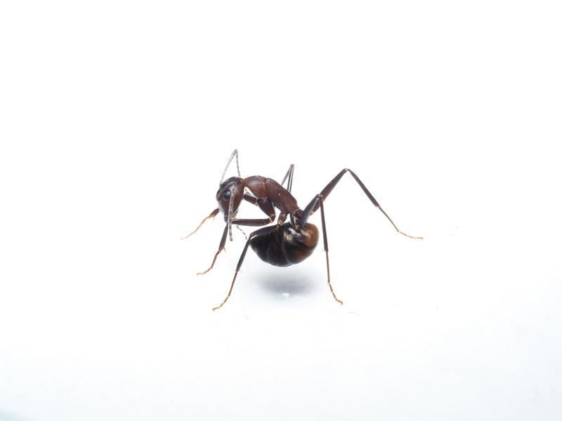 An ant (Camponotus cf. nicobarensis) trying to swallow formic acid from its acidopore