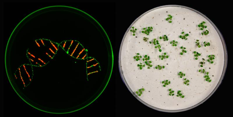 In their work, the researchers used markers to distinguish between different plant seeds. No difference can be seen with the naked eye. Under UV light, however, transgenic seeds appear red, non-transgenic seeds green. (left picture)