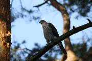 Goshawk in Berlin
