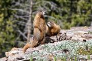 Especially in regions that are particularly affected by climate change, studies are often missing, for example in the mountains. The American yellow-bellied marmot is one of the few mammals for which the researchers were able to find relevant data.